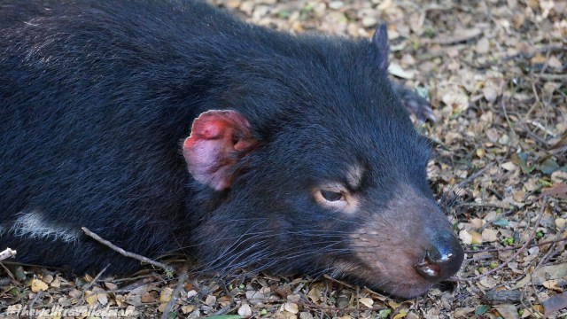 thewelltravelledman devils@cradle tasmania australia