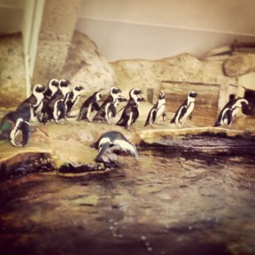 African penguins at Nausicaa