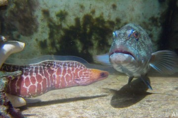 Trout and eel collaborate to deal with preys underwater
