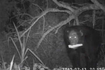 chimps seen raiding farms for food during night