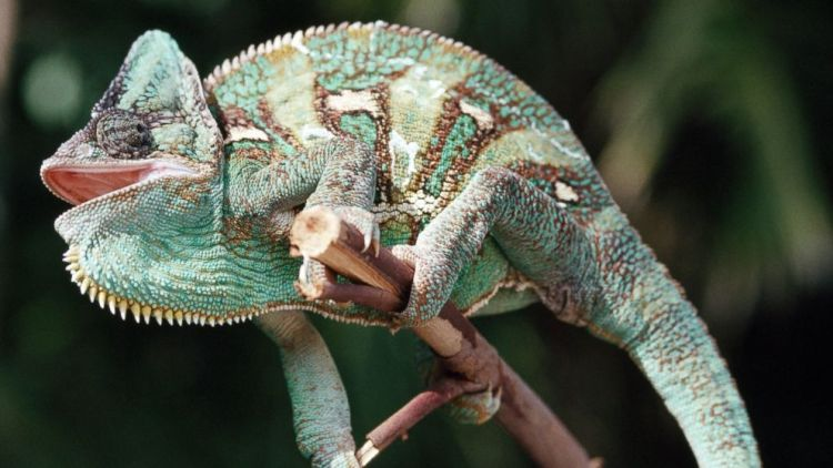 Scientists Unravel How Chameleons Really Change Their Color