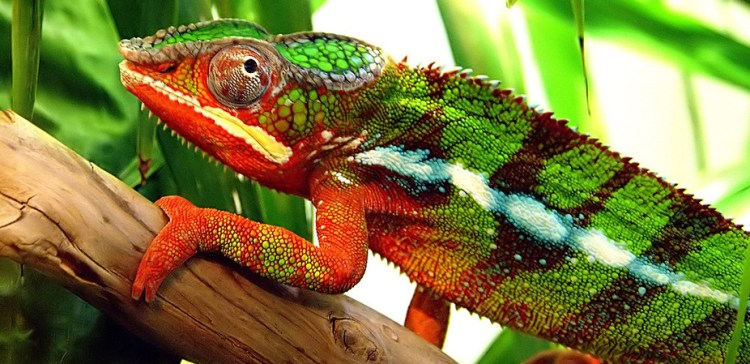 Understanding a chameleon ability to camouflage into different colors