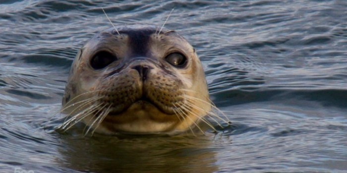 seal-or-sea-lion