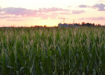Whiskey Acres Corn