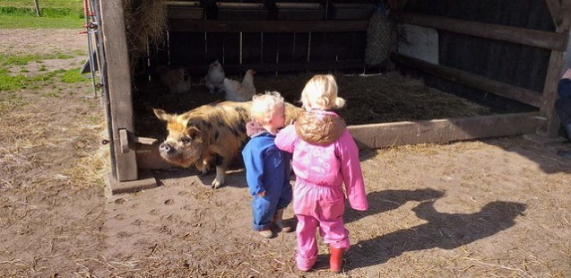 Taking care of the pigs