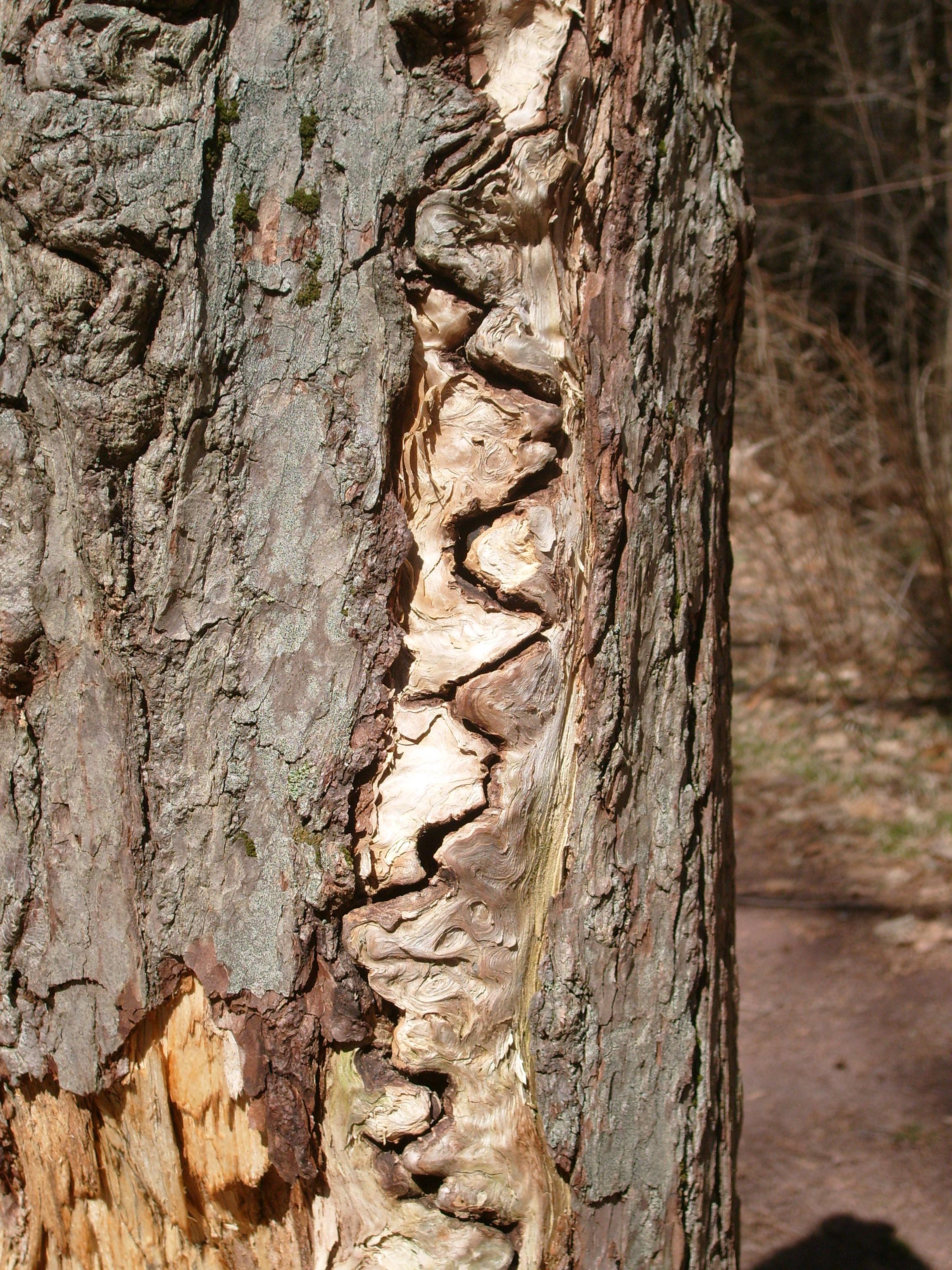 Walking Tree Ents #2