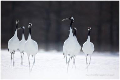 Hokkaido Cranes 20
