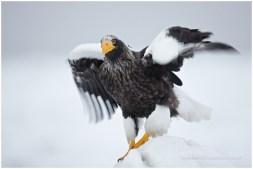 Hokkaido Eagles 11