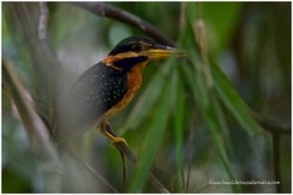 Female Rufous-collared Kingfisher
