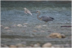 White-bellied Heron and Ibisbill