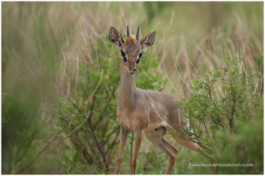 Kirik's Dik-dik @ Samburu