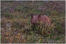 Black Rhino @ Nakuru