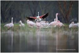 Lesser + Greater Flamingos
