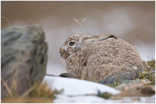 Tibetan Hare