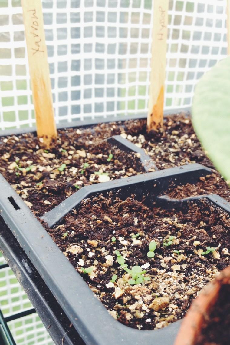 Yarrow seedlings