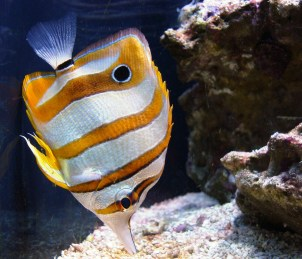 copperband-butterflyfish-586255_1920