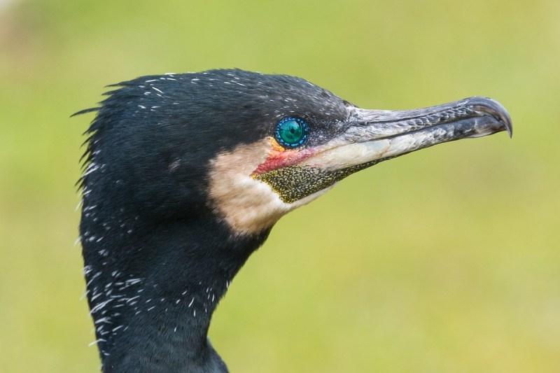 cormorant-2152748_960_720.jpg