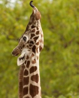 giraffe-2043722_1920