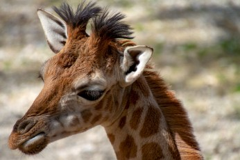 giraffe-3349207_1920