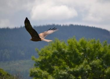 golden-eagle-1417330_1920.jpg