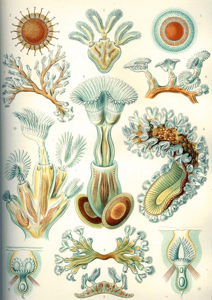 Haeckel_Bryozoa.jpg