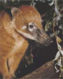 Носуха (животное). Фото, видео