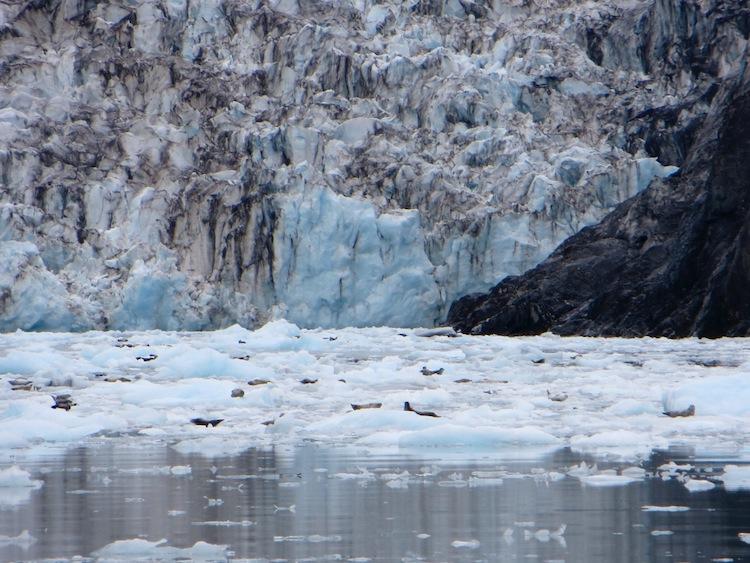 Seals and Sea Lions at Surprise Glacier