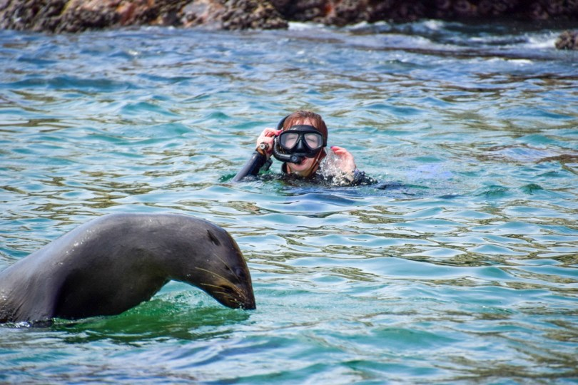 Robberg Island Seal Swimming
