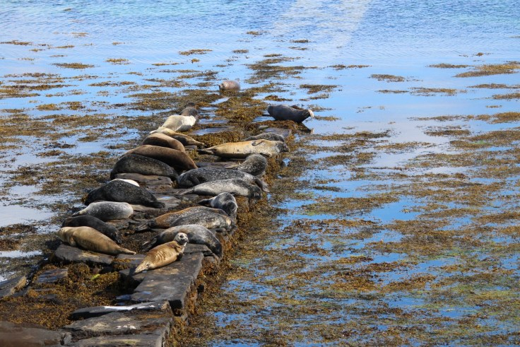 Seals on Westray, Orkney, Scotland