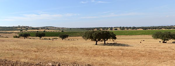 The cork oak trees of Alentejo are the main source of the world's cork for wine stoppers - and the pigs love the acorns!