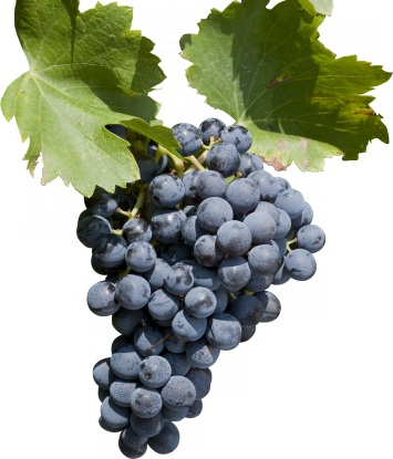 …. and Grenache is the other one.