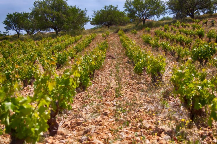 "Bush Vines in Attica - The optimum way to grow Savatiano in Attica is the traditional ""bush"" training style."