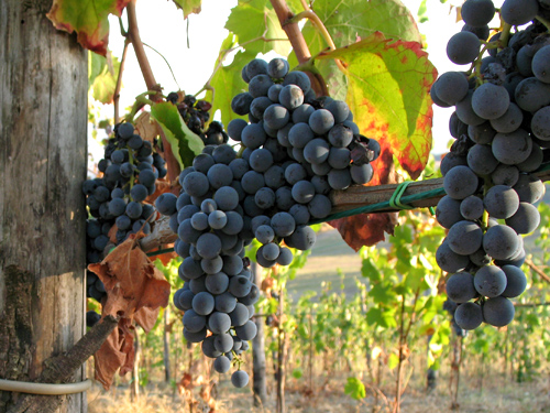 Aglianico - a wine with muscle from the flanks of Vulture volcano
