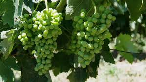 Savatiano Grapes - Athens' wine drinkers have relied on Savatiano for thousands of years.
