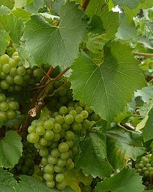 Its all about Melon de Bourgogne