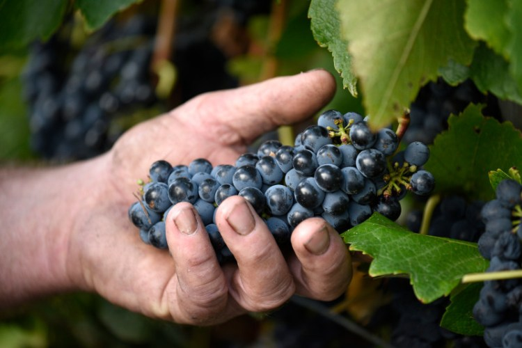 Cabernet Sauvignon, a classic variety for Australia, does very well in Geographe