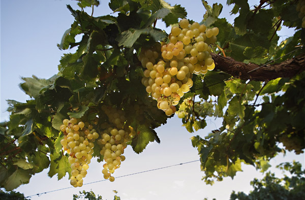 Argentine's national white wine grape - Torrontés