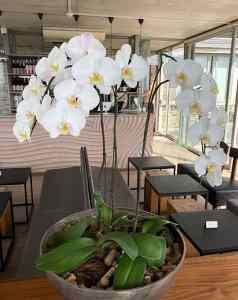 Beau Consantia orchid