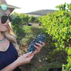 wine harvest south africa
