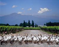 Cono Sur Vineyard geese