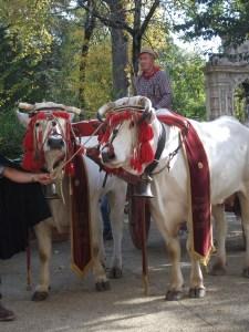 trad milk cows