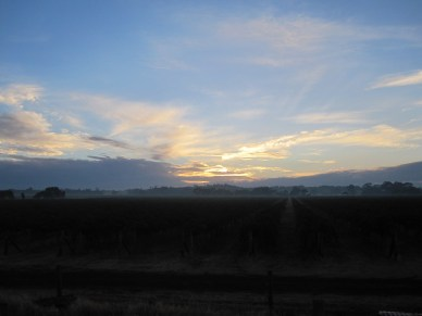 sunrise over the vines