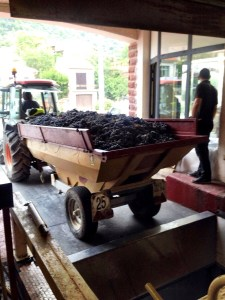 grapes heading into the hopper