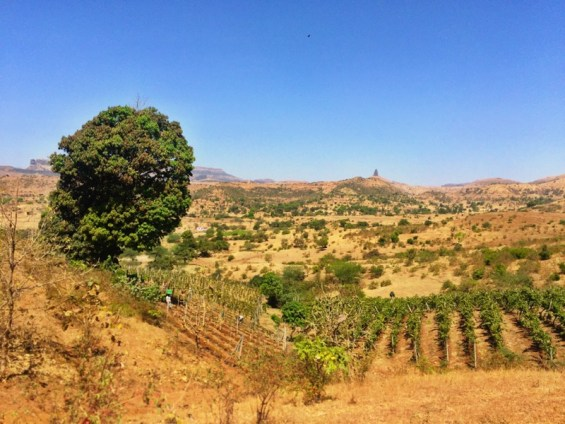 One Tree vineyard, Grover Zampa winery, Nashik Valley, Maharashtra, India, Indian wine