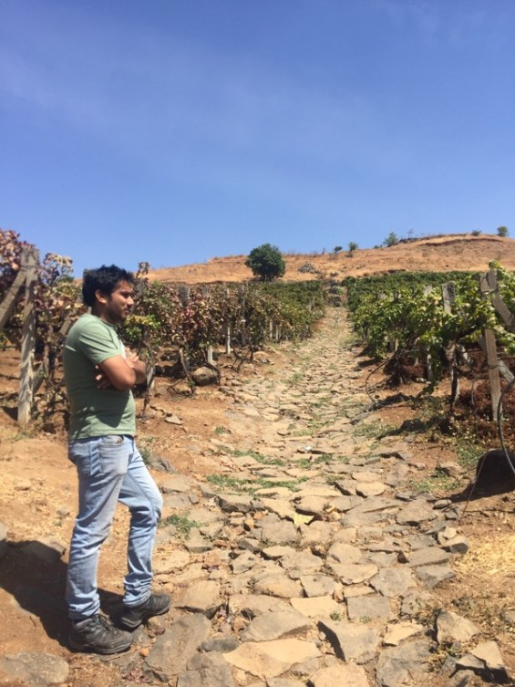 Abhay Rajaria, winemaker of Grover Zampa in the vineyards, Nashik Valley, Maharashtra, India, Indian wine