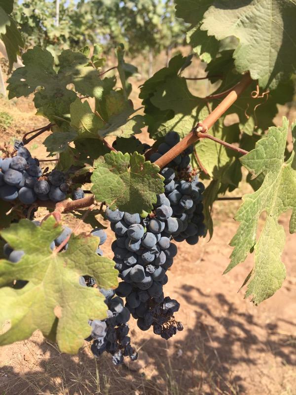 cabernet sauvignon on the vine at Vallone Vineyards, winery, Nashik Valley, Maharashtra, India, Indian Wine