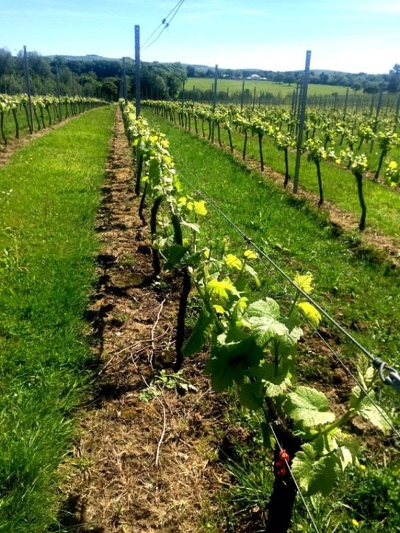 Albourne Estate, Sussex, England, English Vineyard