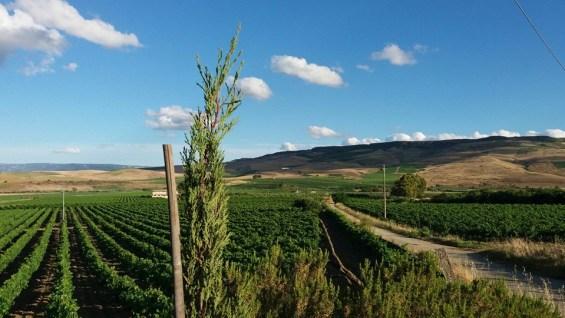 Bruchicello vines, Sicily