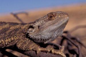 A bearded lizard. Credit: Arthur Georges
