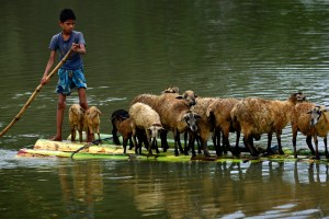 A boy transports his sheep on a banana raft in the flood-affected Morigaon district of Assam. Credit: EPA/STR